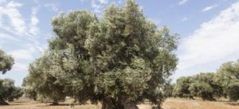 Paisagismo com oliveiras